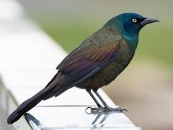 grackle rail
