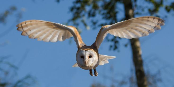 barn-owl-1107397_1920