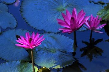 lotus-flower-216119_1280